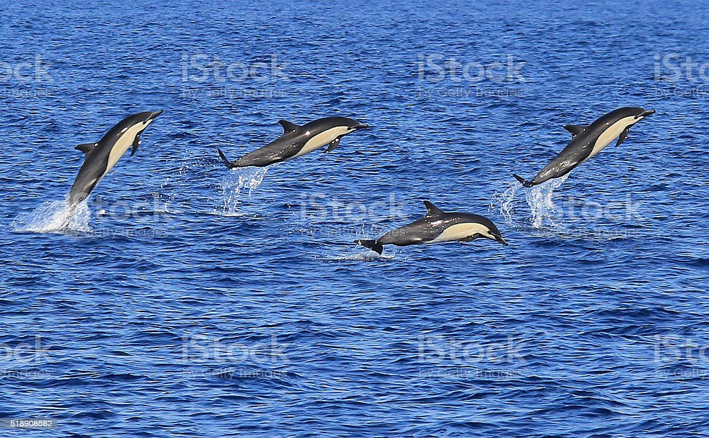 Pacific Common Dolphins Jumping stock photo