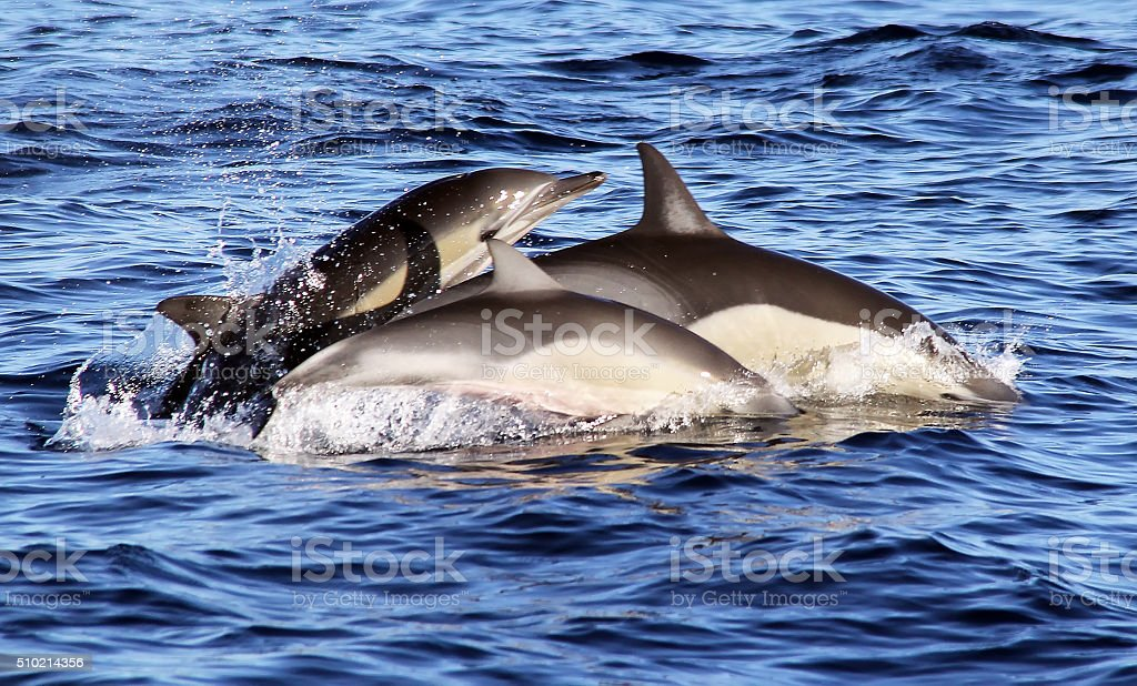 Pacific Common Dolphins Playing stock photo