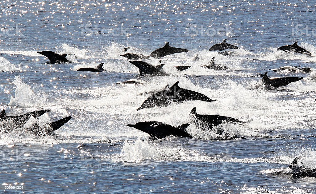 Pacific Common Dolphins Stampede stock photo
