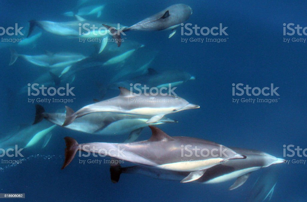 Pacific Common Dolphins Under Water stock photo