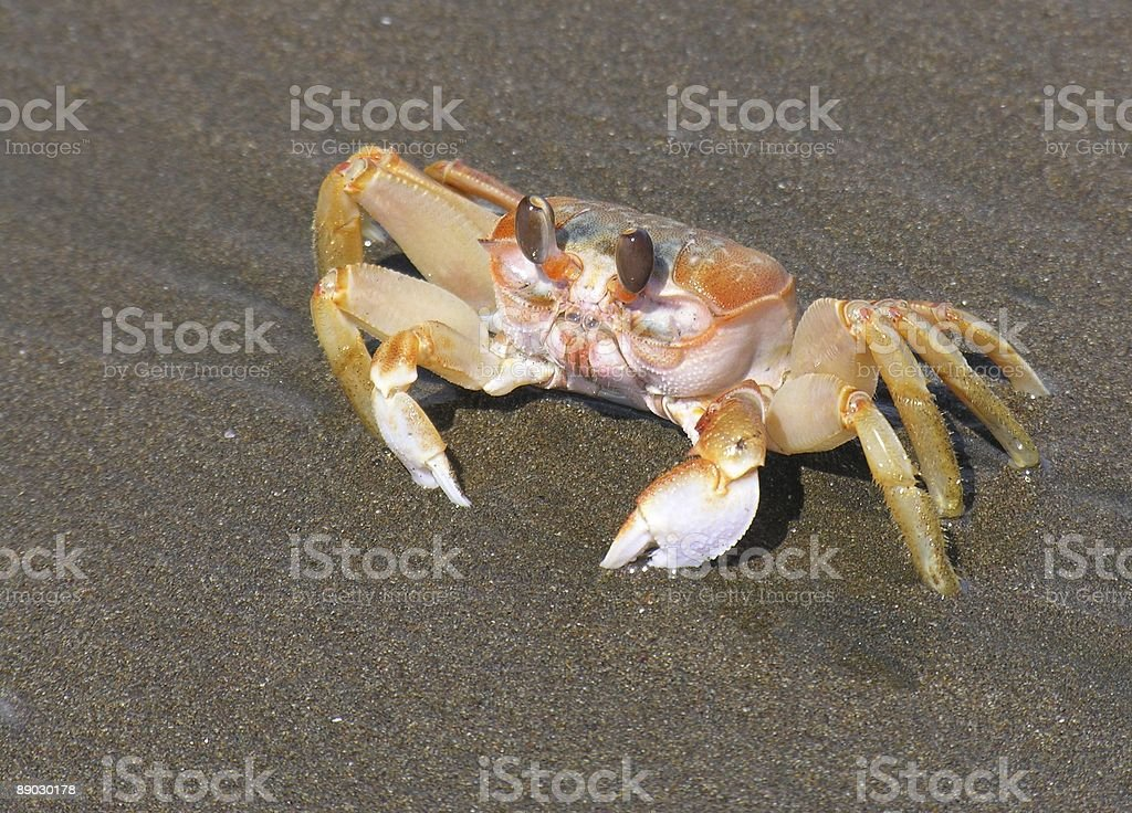 Pacific Crab royalty-free stock photo