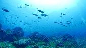 Darwin Island, Galapagos Islands, Ecuador - May 9, 2018 : Underwater sea life at Galapagos (2018_0428_0520-05-09_120222-A)