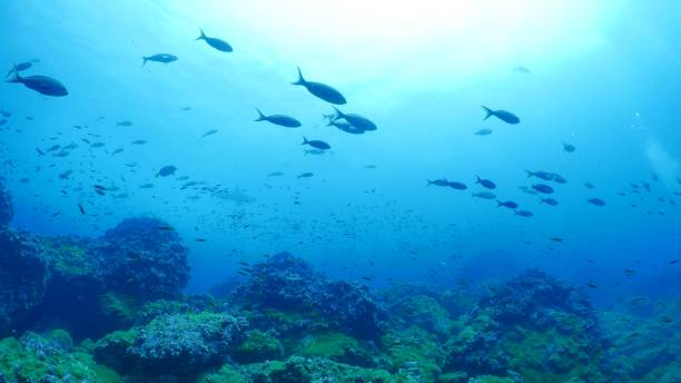 Pacific Creole fish schooling at undersea reef, Galapagos stock photo