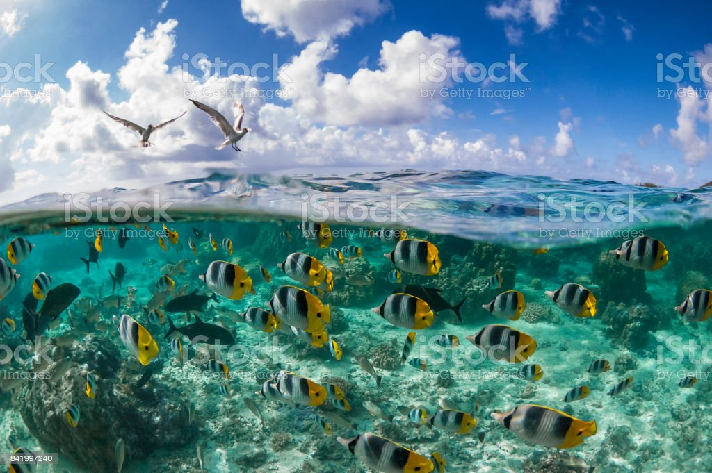 Pacific Double-saddle Butterflyfish (Chaetodon ulietensis) stock photo