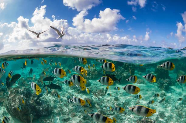 pacific double-saddle butterflyfish (chaetodon ulietensis) - uccello marino foto e immagini stock