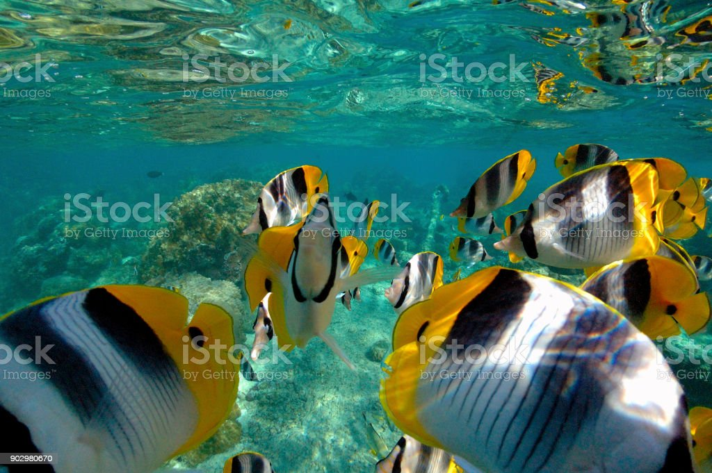 太平洋ダブル セグロチョウチョウウオ (チョウチョウウオ ulietensis) ストックフォト