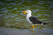 Pacific gull on the beach eating a crab