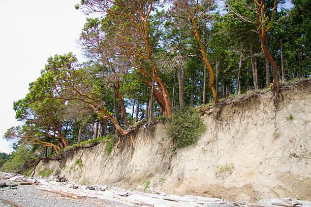 Pacific Madronas wachsenden auf Klippe – Foto