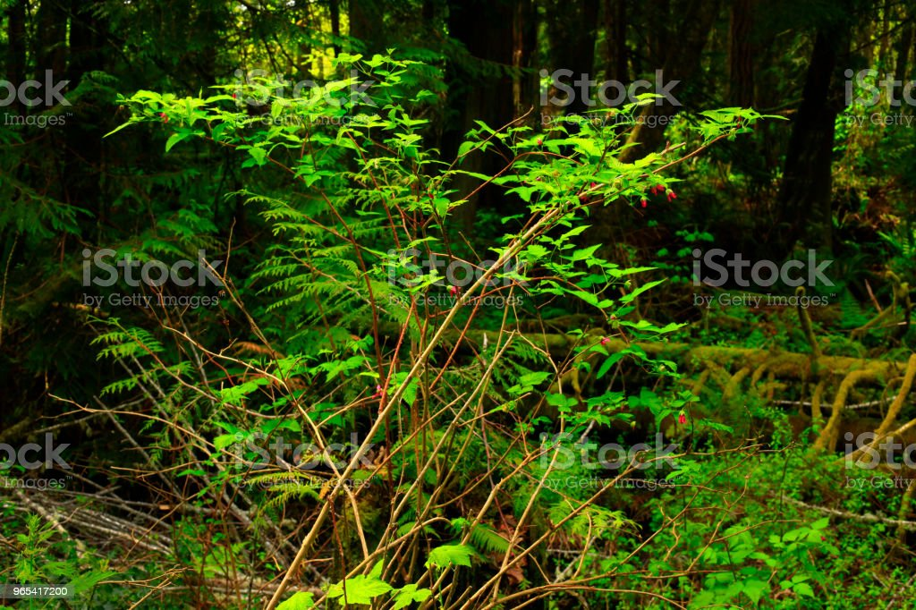 Pacific Northwest forest and Beaked hazelnut tree zbiór zdjęć royalty-free