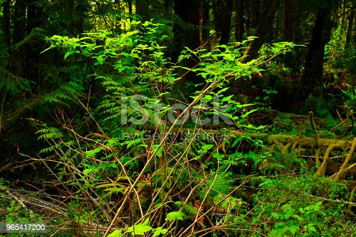 Pacific Northwest Forest And Beaked Hazelnut Tree Stock Photo & More Pictures of Forest