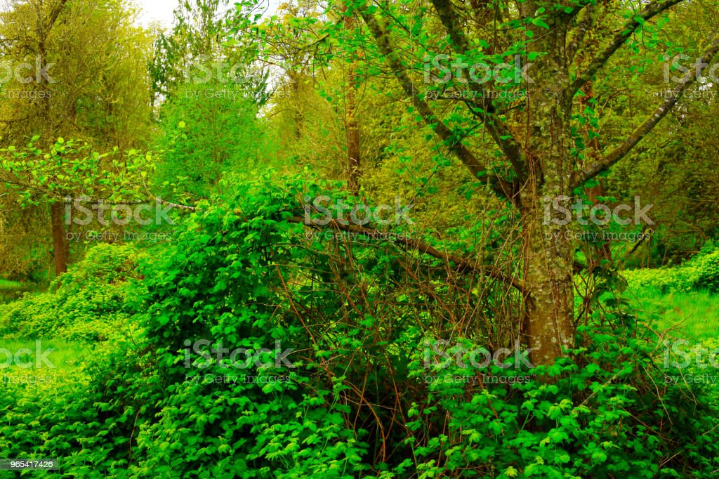 Pacific Northwest forest and Berry Vines royalty-free stock photo