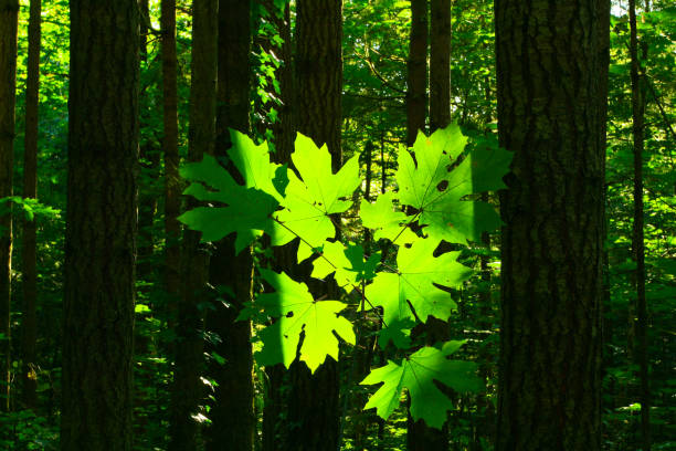 Pacific Northwest forest and Big leaf maple trees – zdjęcie