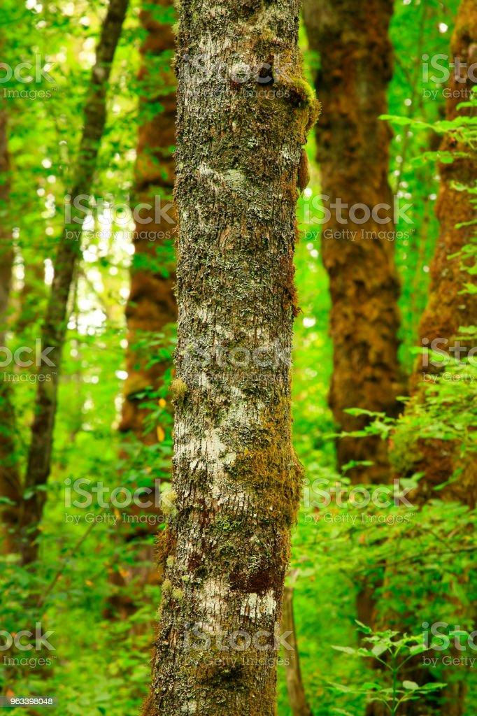 Pacific Northwest skog och stora blad lönn träd - Royaltyfri Fotografi - Bild Bildbanksbilder