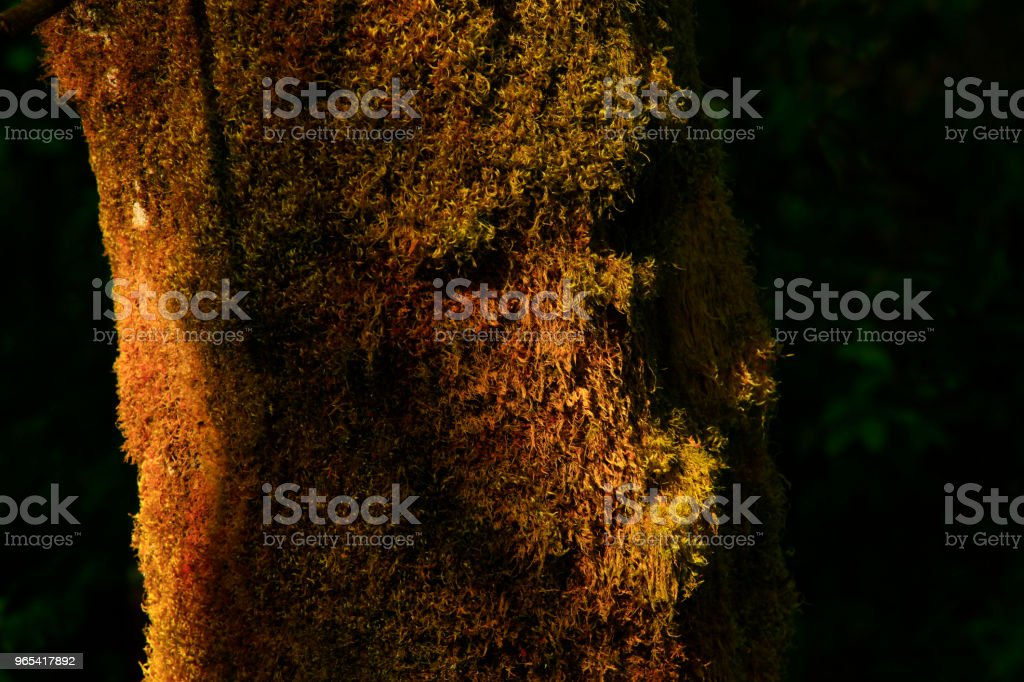 Pacific Northwest forest and Big leaf maple trees royalty-free stock photo