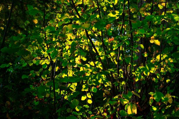 Pacific Northwest forest and Cascara shrub – zdjęcie