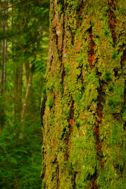 Pacific Northwest forest and Douglas fir trees – zdjęcie