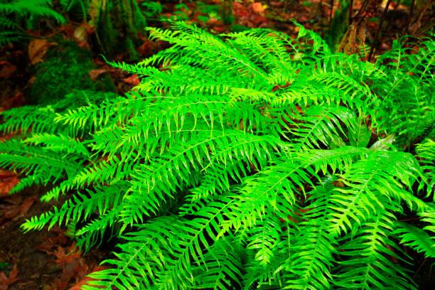 Pacific Northwest forest and fallen Western hemlock tree – zdjęcie