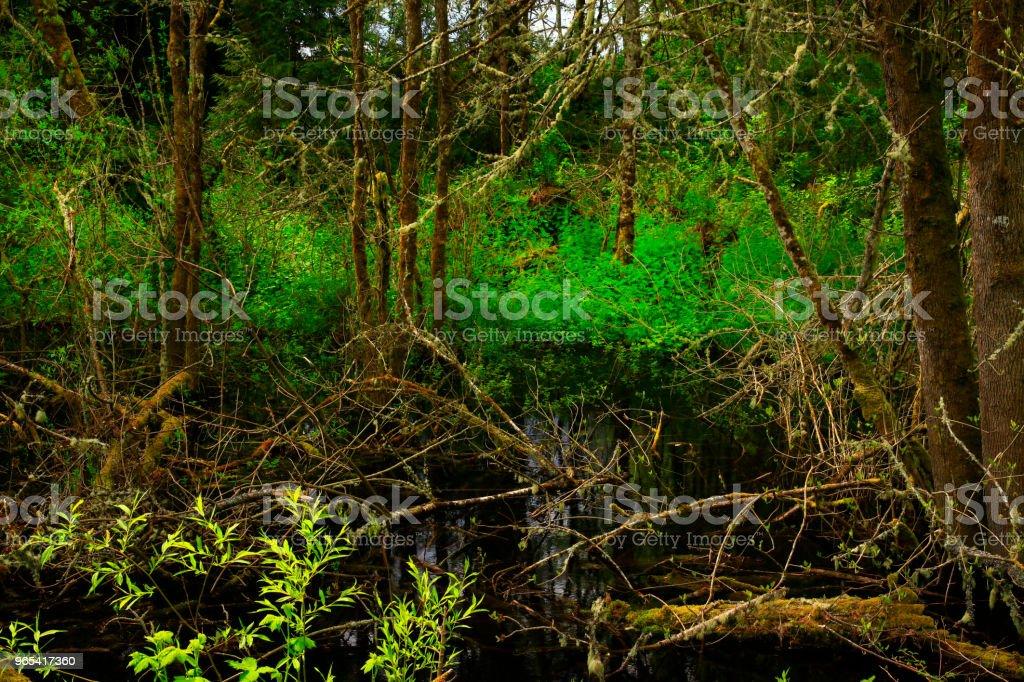 Floresta do Pacífico noroeste e salgueiro do Pacífico - Foto de stock de EUA royalty-free