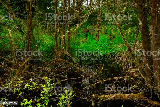 Foto de Floresta Do Pacífico Noroeste E Salgueiro Do Pacífico e mais fotos de stock de EUA