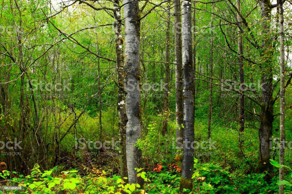 Pacific Northwest forest and Quacking aspen tree - Zbiór zdjęć royalty-free (Bez ludzi)