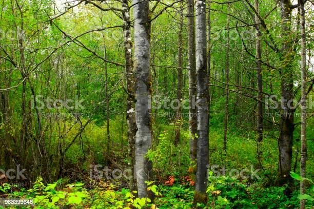 Las Północnozachodni Pacyficzny I Szeszcząca - zdjęcia stockowe i więcej obrazów Bez ludzi