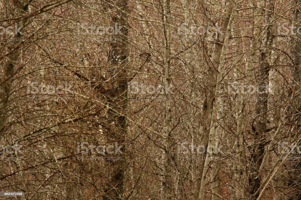 Pacific Northwest forest and Red alder trees - Zbiór zdjęć royalty-free (Bez ludzi)