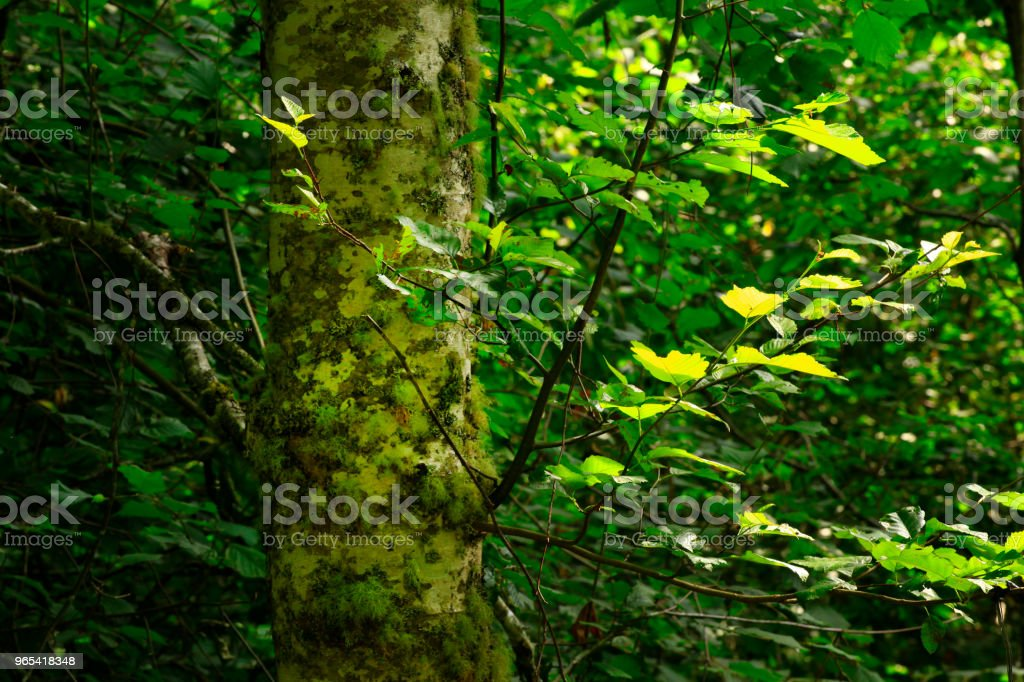 Pacific Northwest forest and Red alder trees zbiór zdjęć royalty-free