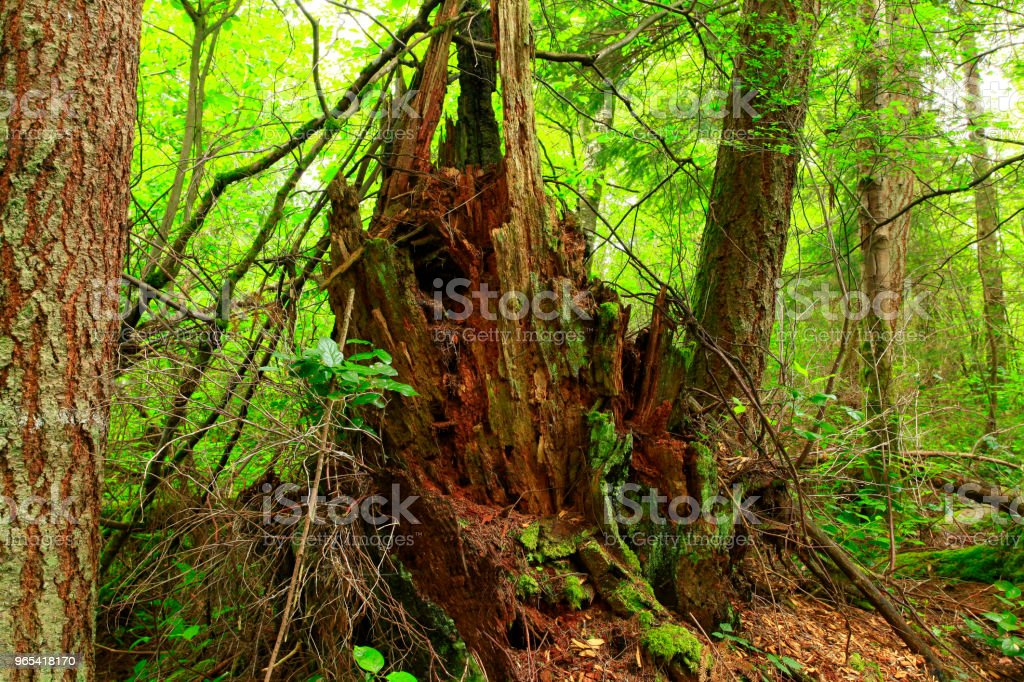 Pacific Northwest forest and second growth Conifer trees zbiór zdjęć royalty-free