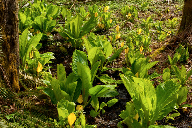 Pacific Northwest forest and Skunk cabbage plant – zdjęcie