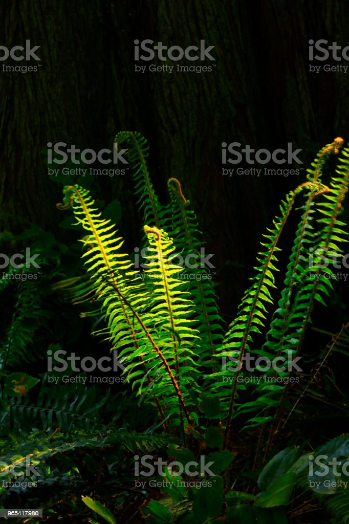 Pacific Northwest forest and Sword ferns royalty-free stock photo