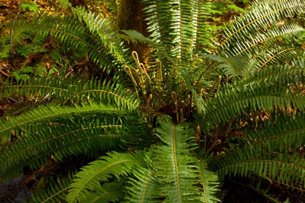Pacific Northwest forest and Sword ferns – zdjęcie