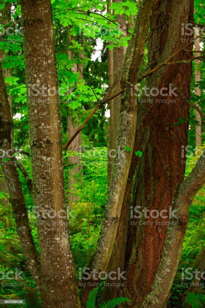 Pacific Northwest forest and Vine maple trees - Zbiór zdjęć royalty-free (Bez ludzi)