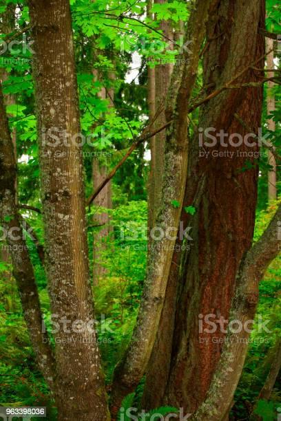 Las Północnozachodni Pacyficzny I Klony Winorośli - zdjęcia stockowe i więcej obrazów Bez ludzi