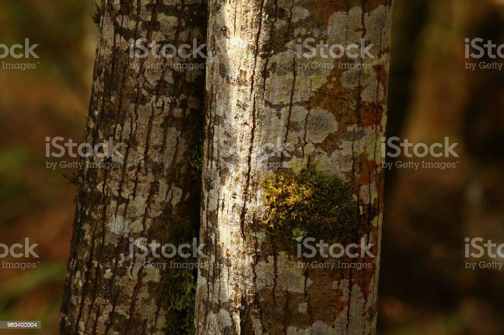 Pacific Northwest skog och Vine lönn träd - Royaltyfri Fotografi - Bild Bildbanksbilder