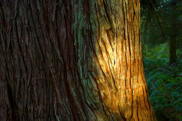 Pacific Northwest forest and Western red cedar tree – zdjęcie