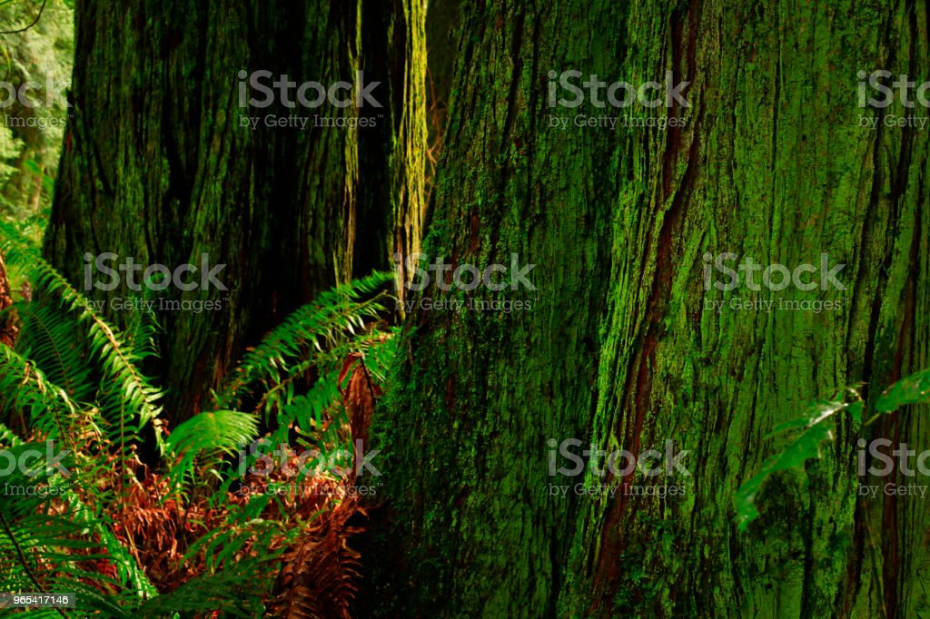 Pacific Northwest forest and Western red cedar trees zbiór zdjęć royalty-free