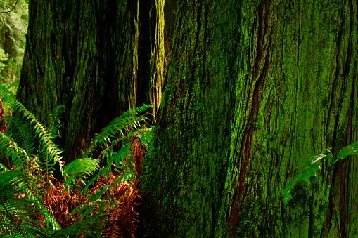퍼시픽 노스 웨스트 숲과 서쪽 빨강 삼목 나무 0명에 대한 스톡 사진 및 기타 이미지