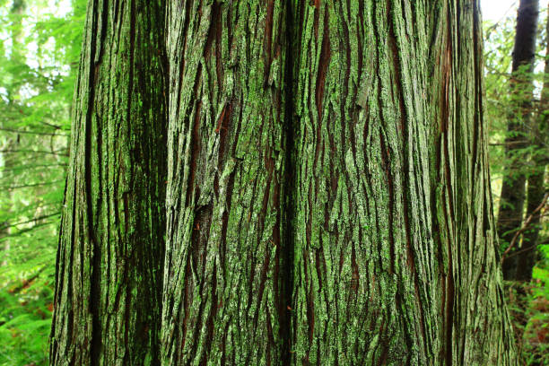 Pacific Northwest forest and Western red cedar trees – zdjęcie