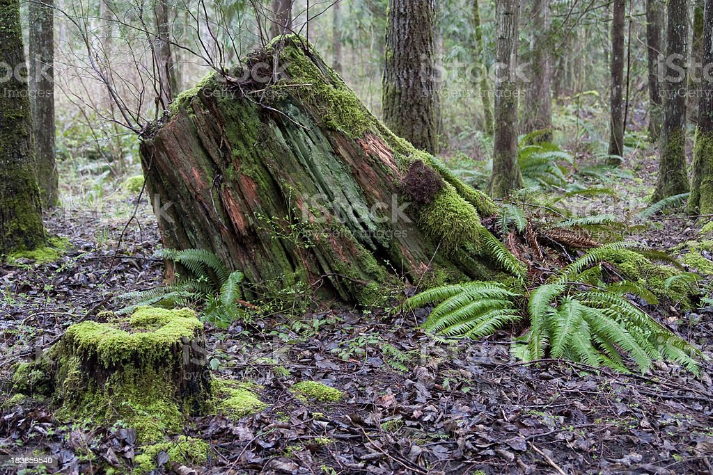 Pacific Northwest Forest royalty-free stock photo