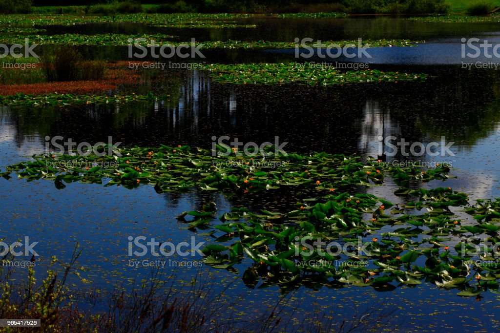 Pacific Northwest fresh water lake and Lilly pads zbiór zdjęć royalty-free