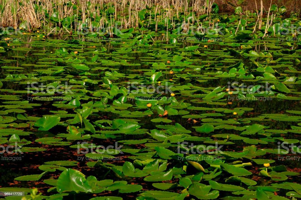 Lac d'eau douce du Nord-Ouest du Pacifique et des coussinets Lilly - Photo de Eau libre de droits