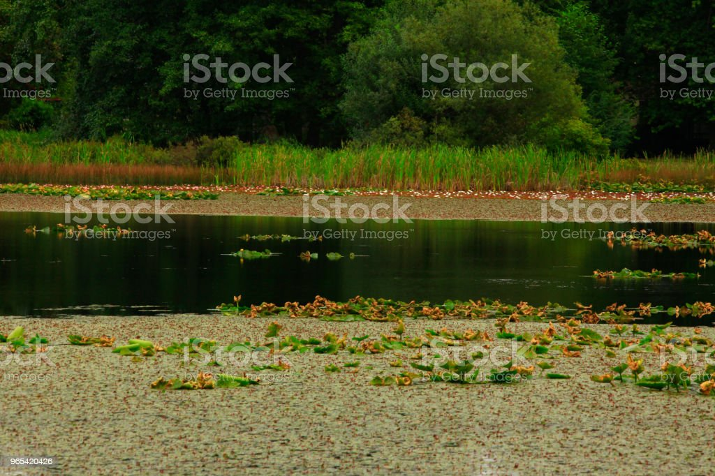 Pacific Northwest fresh water lake and Lilly pads royalty-free stock photo