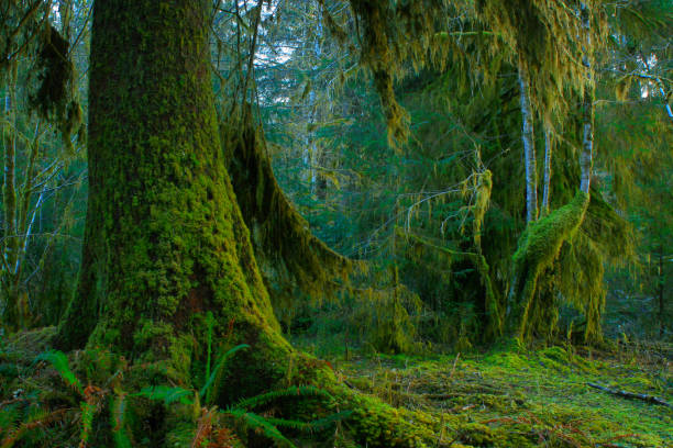 Pacific Northwest rainforest and Sitka spruce trees – zdjęcie