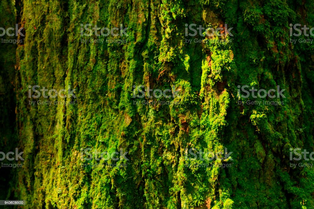 a picture of an exterior Pacific Northwest rainforest with old growth...