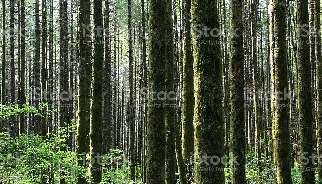 Pacific Northwest Rainforest in Washington State stock photo