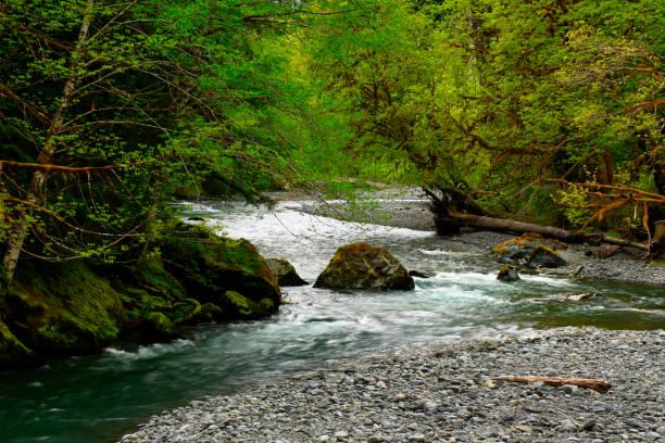 Pacific Northwest rainforest river in spring – zdjęcie