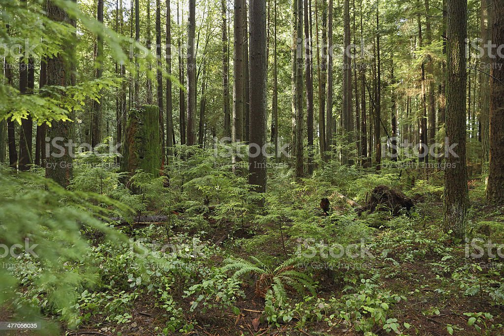 Pacific Northwest, Second Growth Forest stock photo