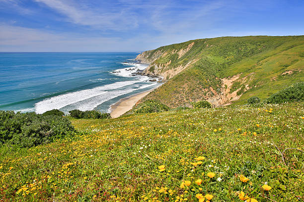 Pacific Ocean from Tomales Point Trail, Point Reyes National Seashore Pacific coastline filled with spring wildflowers at Point Reyes. acute angle stock pictures, royalty-free photos & images