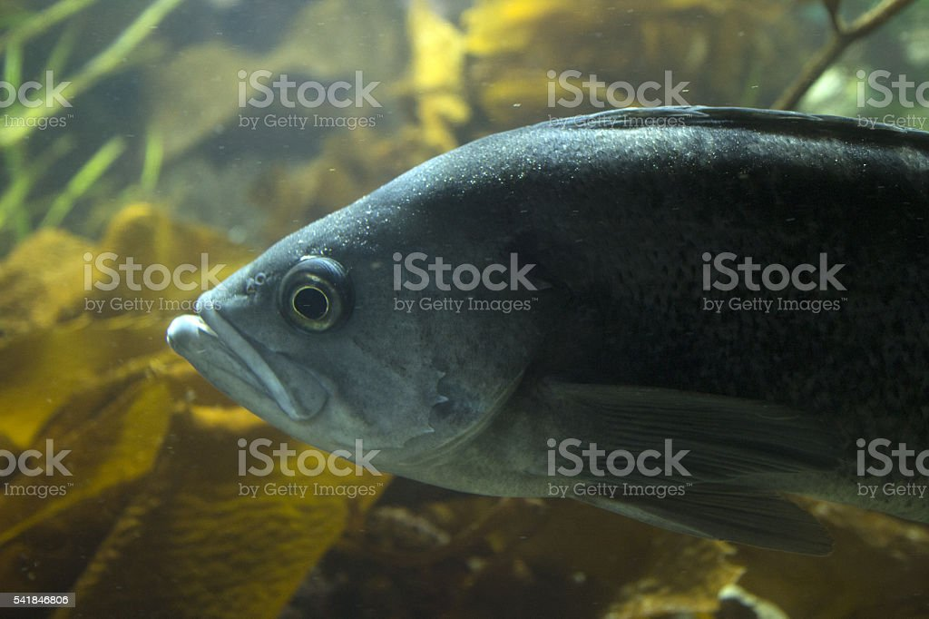 Pacific Ocean perch stock photo