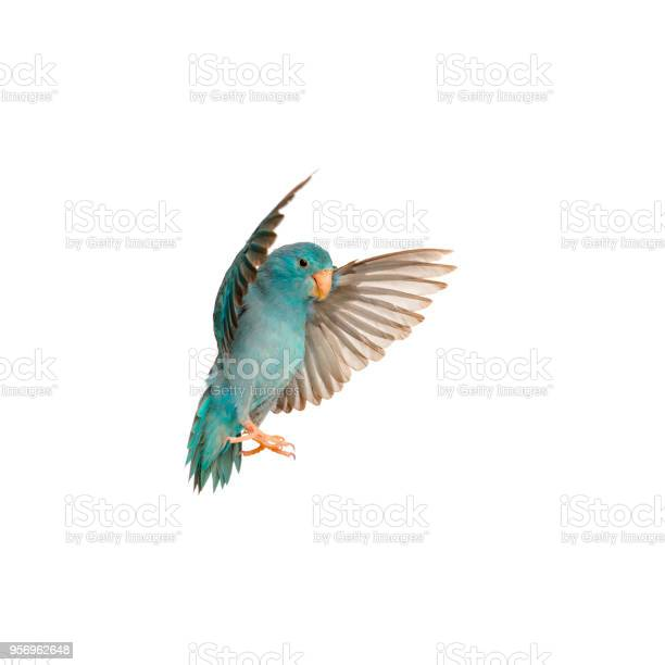 Pacific parrotlet forpus coelestis flying against white background picture id956962648?b=1&k=6&m=956962648&s=612x612&h=sd1is5vail0xftfuxgc8acwlko0sueyh2pvtnoeljjs=